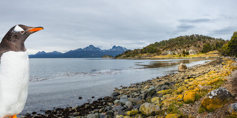 Wonderful turquoise coastal landscape of Tierra del Fuego National Park and a curious Gentoo penguin, Patagonia, Argentina