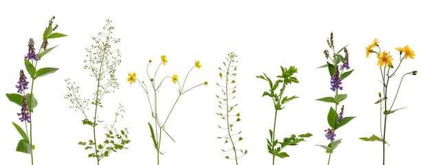 Fototapeta Many various stems of meadow grass with yellow, white and purple flowers on white background