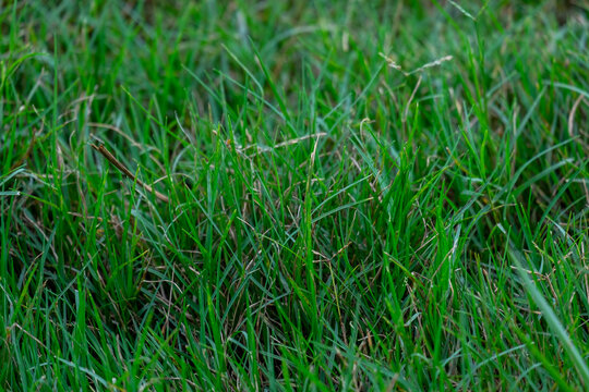 Bermuda lawn grass