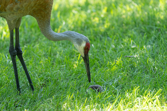 sandhill crane has found a star nosed mole in the wetlands