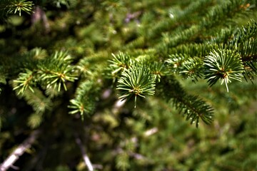 Wall Murals Roe ree, green, pine, nature, branch, plant, fir, needle, forest, coniferous, christmas, macro, spruce, needles, evergreen, flora, spring, twig, summer, close-up, texture, fresh, moss, new, leaf