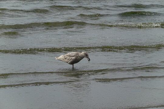 Bird seagull at the beach in Seattle, WA.
