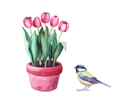 Watercolor red tulips in a pot and a tit bird. Home plant in the garden. Illustration isolated on white background