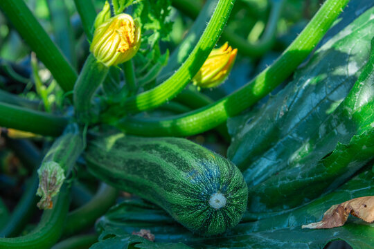 natural zucchini on the plant