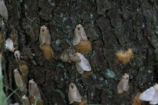 Lots of Gypsy Moths (Lymantria dispar dispar), shot in Turkey Point Provincial Park, Ontario, Canada.