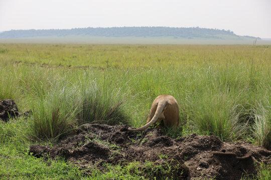 Photo of back of African lion walking away through African savanna grassland in Maasai Mara, Kenya