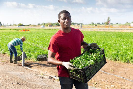 Portrait of skilled african american farm worker with box of picked parsley on field. Harvest time.
