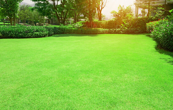 Green grass lawn with bush and tree in outdoor backyard garden