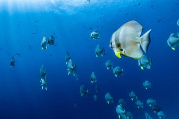 school of fish batfish underwater Wall mural