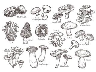 Fototapeta Forest mushrooms sketch. Vintage plants, engraving mushroom. Isolated chanterelle shiitake champignon, tasty cooking ingredient vector set. Fungus and chanterelle, edible sketch vegetable illustration obraz