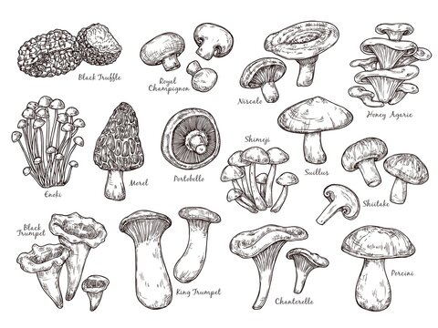 Forest mushrooms sketch. Vintage plants, engraving mushroom. Isolated chanterelle shiitake champignon, tasty cooking ingredient vector set. Fungus and chanterelle, edible sketch vegetable illustration