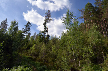 Forest on a summer day in Central Norway
