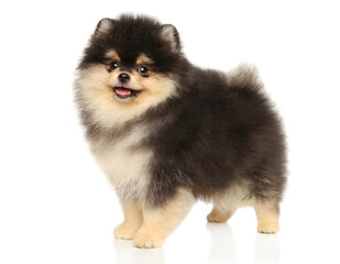 Wall Mural - Pomeranian puppy stands in stand