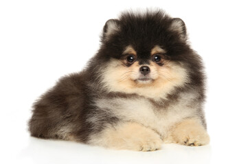 Wall Mural - Pomeranian puppy poses on a white background