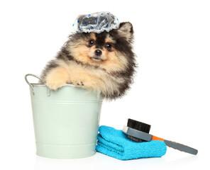 Wall Mural - Pomeranian puppy with bathing cap in bucket