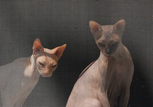 Sphynx cats look through an insect screen in Yessentuki