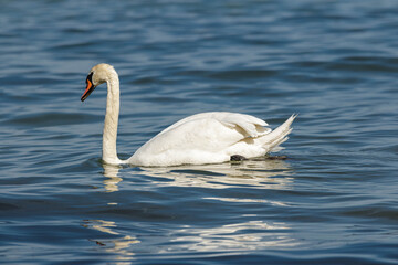 Fototapeta Swan reflects at the water obraz