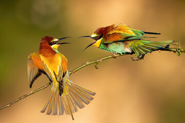 Two european bee-eater, merops apiaster, fighting on bough in summer. Pair of colorful bird moving against each other on branch. Multicolored animals with long beak battle on twig.