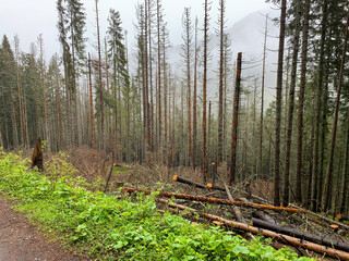 Fototapeta Trees by the road to Morskie Oko, fell by the wind obraz