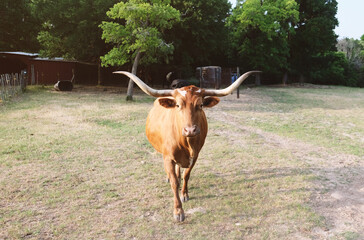 Wall Mural - Texas longhorn cow in the field