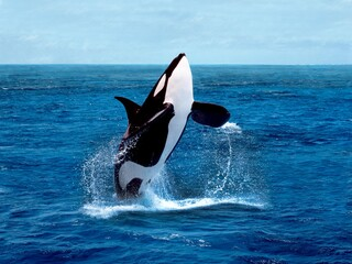Killer Whale, orcinus orca, Adult breaching