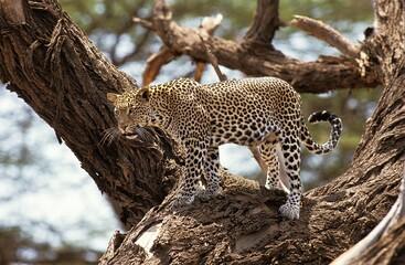 Leopard, panthera pardus, Adult standing in Tree, Nakuru Park in Kenya Wall mural