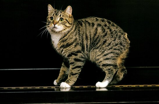 Manx Domestic Cat, a Cat Breed withoug Tail, Adult standing on Piano