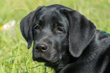 black Labrador puppy lying on the green grass
