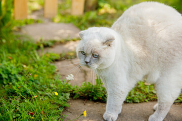 Funny short-haired domestic white kitten sneaking through green gerass backyard background. British cat walking outdoors in garden on summer day. Pet care health and animals concept.