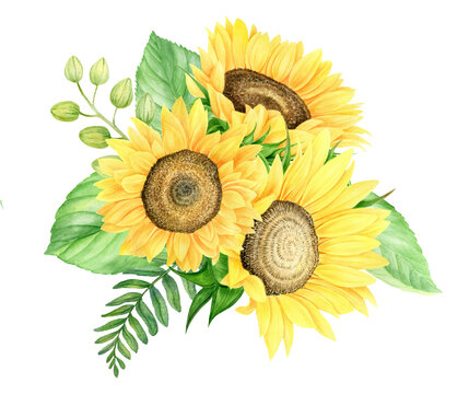 Watercolor sunflowers composition with fresh leaves. Botanical hand painted floral illustration with flowers and leaves isolated on white background.