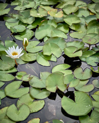 White flower amid water lilies in a water pond