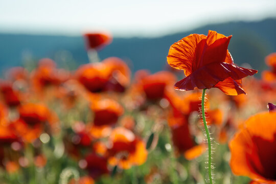 red poppy flower in the field. wonderful sunny afternoon weather of countryside. blurred nature background. remembrance day concept