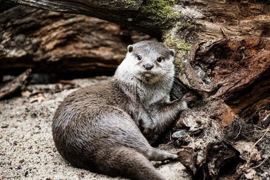 Ein süßer Otter ruht sich aus
