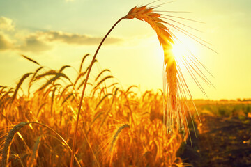 Photo sur Plexiglas Jaune de seuffre Wheat field. Ears of golden wheat close up. Beautiful Nature Sunset Landscape.