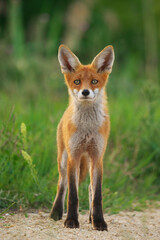 Young Red Fox - Vulpes Vulpes