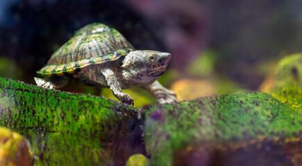 razor-backed musk turtle, Sternotherus carinatus reptile portrait.
