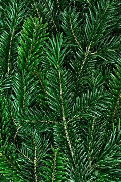Grüne Tannenzweige als Hintergrund