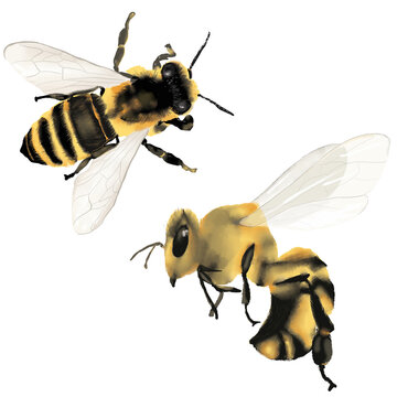 Watercolor bees, bee, high resolution isolated illustration  on white background