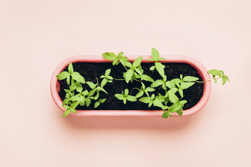 Young Cannabis seedlings in pot. Home cultivation in an indoor marijuana for medical purposes