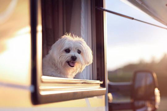 Dog looking out of camper van window