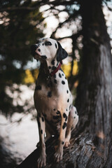 Dalmatian dog siting on a tree near a lake in summer