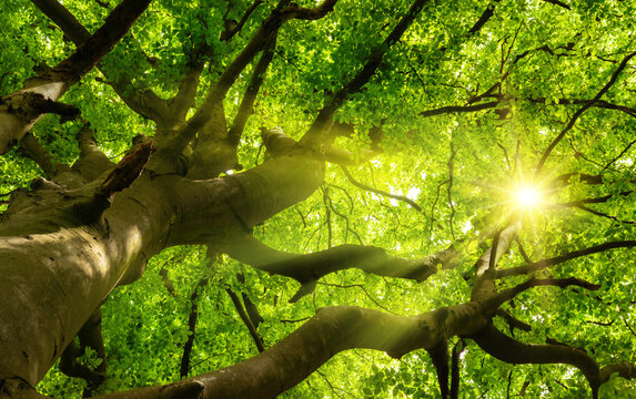Green beautiful canopy of a big beech tree with the sun shining through the branches and lush foliage
