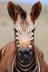 zebra close up - dust bath