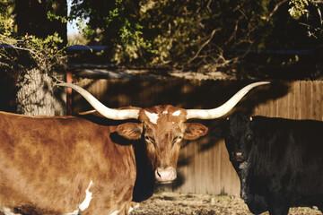 Wall Mural - Texas longhorn cow close up on the farm