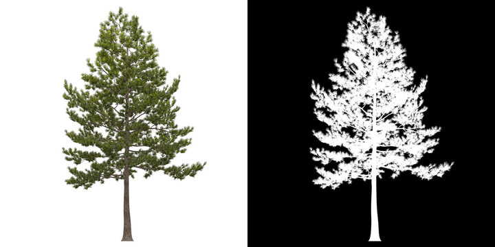Left view of tree (Loblolly Pine) png with alpha channel to cutout 3D rendering. For forest and nature compositing.
