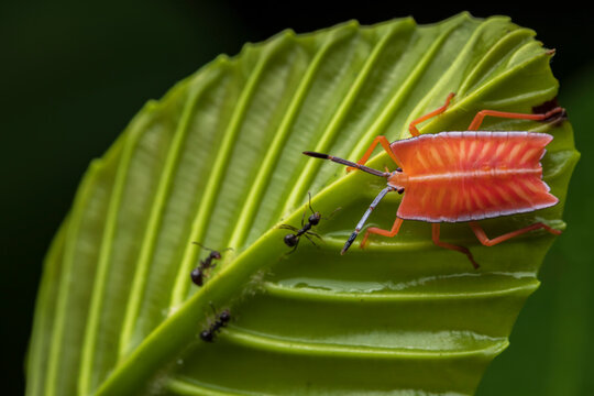 Closeup of bright stink bug sitting on green leaf with ants in forest