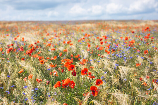 Poppies and cornflowers blooming in summer meadow