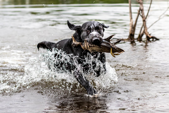 Champion filed labrador training to retrieve a duck