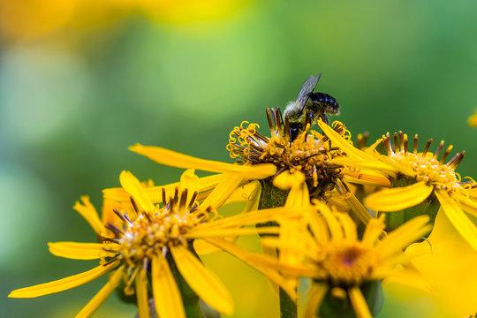 A macro image of a bumble bee on ligularia dentata flower