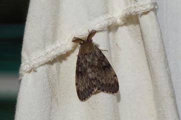 A male gypsy moth (Lymantria dispar), family Erebidae. In the summer on a sheet in the garden. Netherlands, August